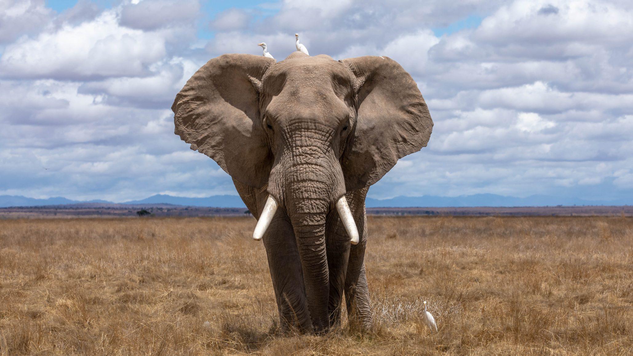 L'ange gardien des éléphants.